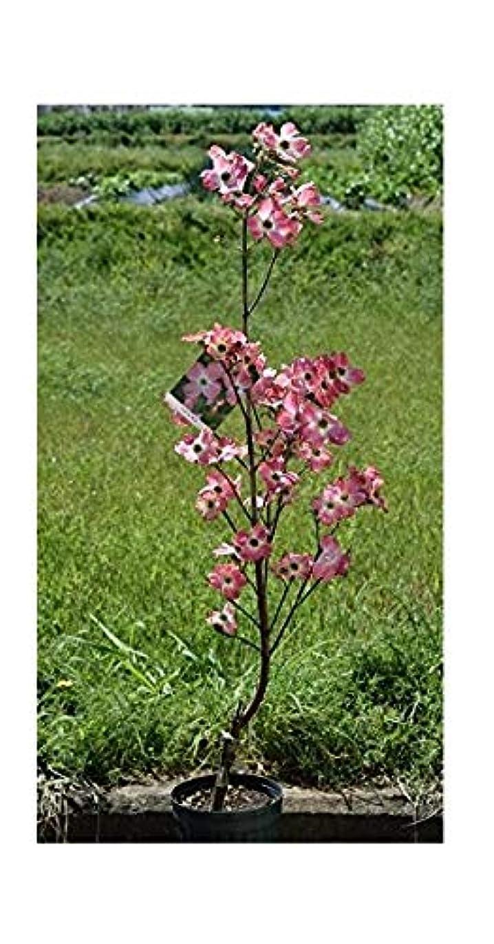 偶然の資本主義バーマド鉢花 ハナミズキピンク花 母の日プレゼントに