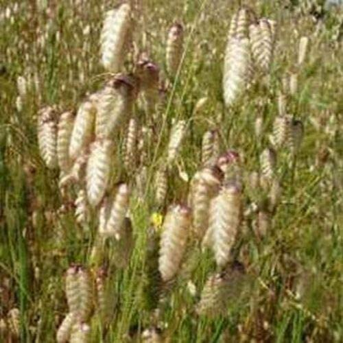 Quaking Grass Briza Maxima Max Baltimore Mall 60% OFF jocad 125 Seeds