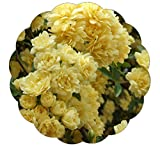 Stargazer Perennials Lady Banks Climbing Rose Plant - Fragrant Yellow Flowers Own Root Potted