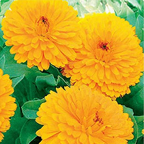 Charm4you Balcón Primavera Flores,Calendacher Yangtai Flor semilla-Amarillo_30 Bolsas,Plantas Coloridas Semillas