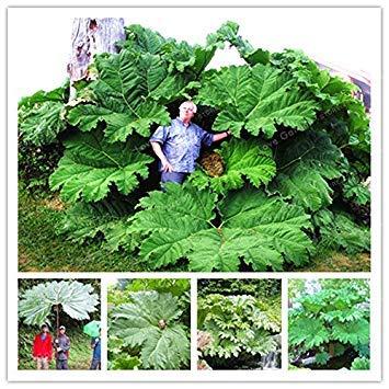 vegherb Mammutblatt Seeds auch genannt Riesen Rhabarber Samen wachsen im Halbschatten Große Blätter im Freien Pflanze im Garten 50 PC/Beutel