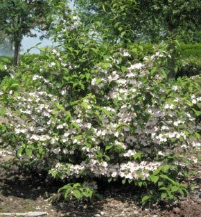 Rosa Pyramiden Schneeball Molly Schroeder 100-125cm - Viburnum plicatum