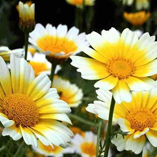 Eastbride winterhart Blumensamen,Einfach zu pflanzende Chrysanthemen-Chrysanthemen-Samen, Gartengarten-Grünpflanzen - 20 Gramm,Steingarten & Staudenbeet