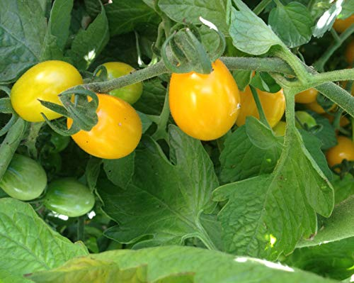 Semillas de tomate datterino amarillo