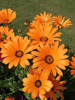 1000 MIXED AFRICAN DAISY  Cape Marigold / Sun Marigold  Dimorphoteca Sinuata Flower Seeds