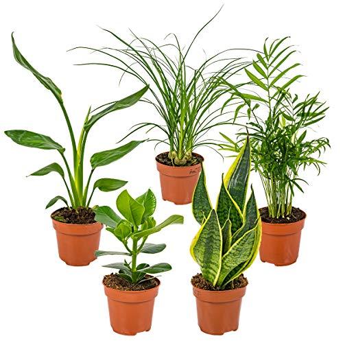 Mischung aus 5 pflegeleichten Zimmerpflanzen Chamaedorea, Sansevieria, Clusia, Stromante, Asplenium cm12 cm - 35 cm