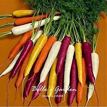 100pcs carotte Semences Rouge Bleu Jaune arc-en-Graines Légumes Jardin des Plantes Heriloom bio Daucus Carota Graines de Potager 06