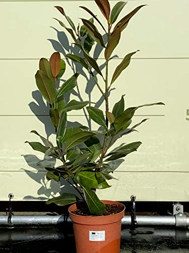 Magnolia Grandiflora Gesamthöhe 100cm,...