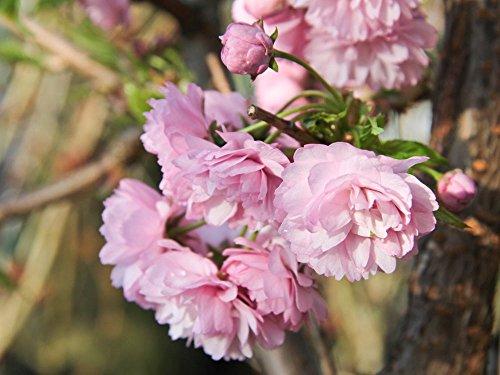 Hängende Nelkenkirsche 'Kiku-shidare-zakura' - Prunus serrulata Kiku-shidare-zakura - Containerware 100-150 cm - Garten von Ehren®