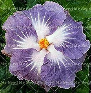1# Semillas de Hibiscus lamta1k 100 Unids Raras Semillas de Hibiscus Ex/óticas Alta tasa de Supervivencia Hogar Jard/ín Decoraci/ón de Flores Ornamentales