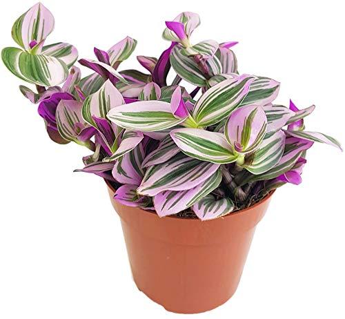 Fangblatt - Dreimasterblume - Tradescantia fluminensis 'tricolor' (Nanouk) - lila Zimmerpflanze im Ø 12 cm Topf - wuchsfreudige Ampelpflanze