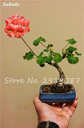 50 Pcs exotiques Géranium semences forestières vivaces Pelargonium peltatum fleurs en pot Geranium plante Bonsaï beauté de votre jardin 15