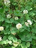 Semi di trifoglio bianco da seminare per tartarughe o per il giardino, confezione da 100grammi