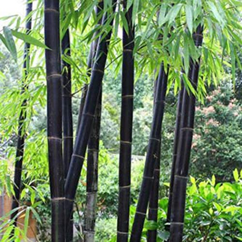 Ultrey Samenshop - 20 Stück Exotische Bambus Samen China Moso Riesenbambus Saatgut Zierpflanzen winterhart mehrjährig für Ihre Garten und Haus