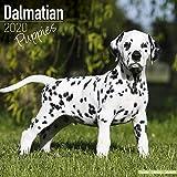 Kalender 2020 Dalmatiner - Welpe - Puppie mit Weihnachtskarte