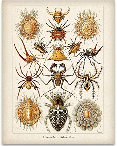 Ernst Haeckel Spiders Illustrations - 11x14 Unframed Art Print - Great Gift Under $15 for People Fascinated with Bugs