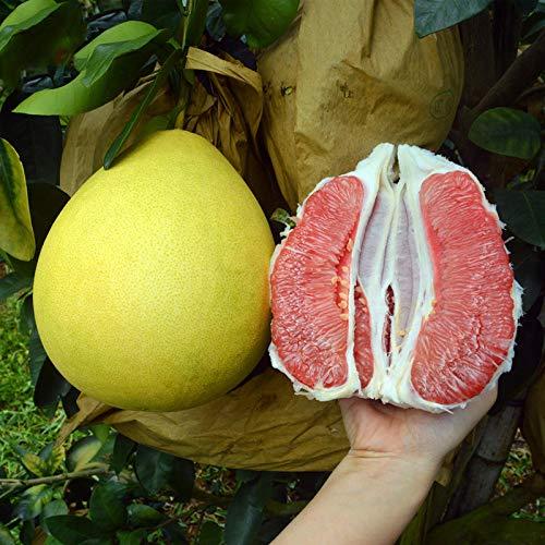 KINGDUO Egrow 25 Piezas/Paquete De Semillas De Árbol De Pomelo Planta De Árbol De Pomelo Citrus...