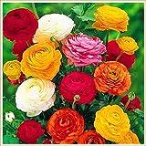 Hermosas flores cultivadas en casa,Bulbos ranunculus,Increibles plantas ornamentales,Flores floreciendo-34 Bulbos