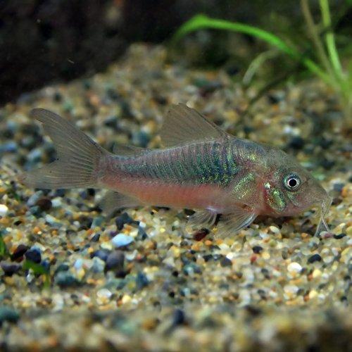 (熱帯魚)コリドラス アエネウス(約3cm)<3匹>[生体]