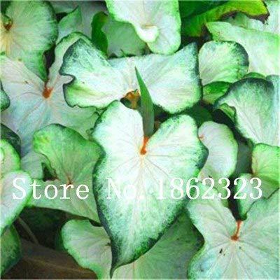GEOPONICS SEEDS: Verkauf! 100 Stück Caladium Bonsai Caladium Blumen Bonsai Zimmerpflanzen Bonsai Colocasia Anlage für Hausgarten-Topfpflanze: 22