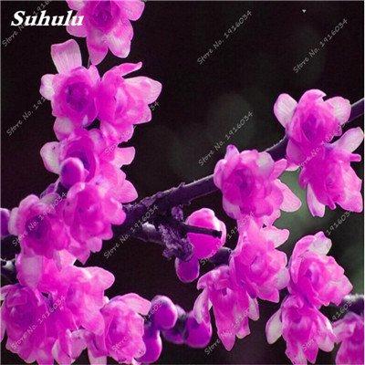 5 pièces rares Couleur vivaces Wintersweet graines, fleurs de pruniers, Blanc Jaune Rose Rouge Calyx Canthus Fleur Graine-Terre Miracle 3