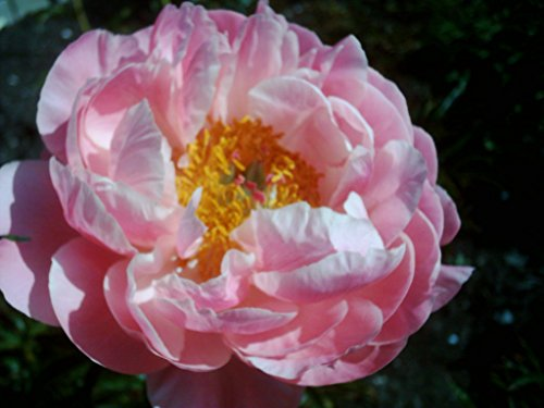 Pfingstrose für Ihren Garten: Cytherea Paeonie