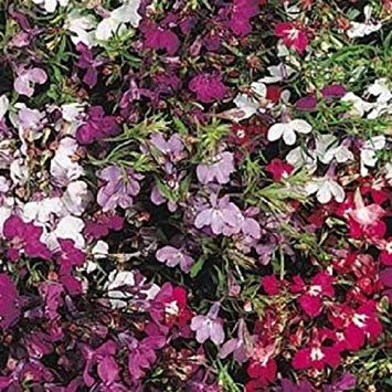 VISA STORE Lobelia Seeds 50 graines multi pastillées Regatta Mix Trailing Lobelia