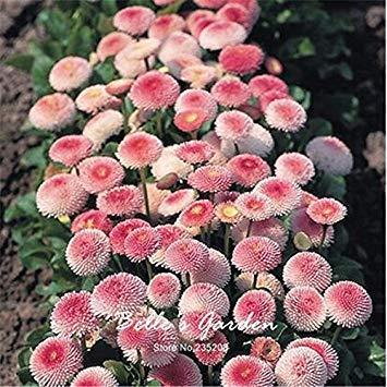 Vista 100 stücke Rosa Gänseblümchen Samen Hardy Pflanzen 'Bellis Tasso' Daisy Blumensamen Exotische Zierblumen Bonsai Samen Hausgarten
