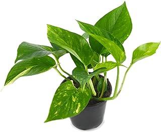 Potho Planta Natural de Interior Epipremnum Aureum Potus, Pothos o Potos