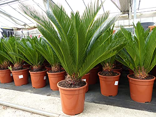 XL Palmfarn 70-80 cm Cycas Revoluta Sagopalme Palme, innen + außen
