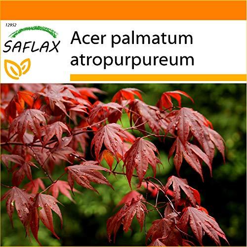 SAFLAX - Jardin dans le sac - Erable du Japon pourpre - 20 graines - Acer palmatum atropurpureum
