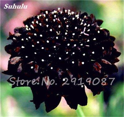 50 Pcs rares Graines Bonsai Dahlia (non Dahlia Bulbes) Mixte magnifique Fleurs chinois Balcon Plante en pot Maison et Jardin 1