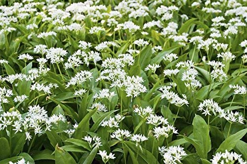 Ramsons, semi di aglio selvatico - Allium ursinum L. - 100 semi - 100 semi