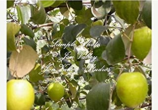 7 Seeds Indian Jujube Tree Rare Tropical Evergreen Small Yellow Blooms Container or Standard Ziziphus mauritiana by Alyf Market