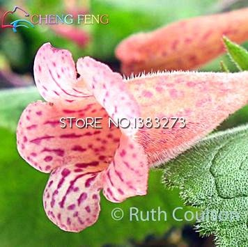 30 Pcs Rare vraies fleurs Gloxinia Seeds Sinningia Gloxinia Flower Seed SeedsAndPlants Bonsai bricolage pour jardin d'ornement usine