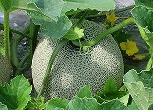 穂別-中澤農園の減農薬赤肉メロン