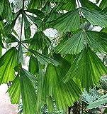 CROSO Keim Seeds Nicht NUR Pflanzen: Caryota Mitis - 6 Seeds - ese Fisch Palm