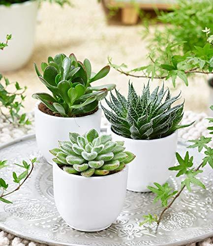 BALDUR-Garten Sukkulenten 3er-Mix,3 Pflanzen