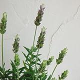 ラベンダー デンタータ 4号鉢植え 2株セット[丈夫で春から秋まで繰り返し咲くラベンダー]