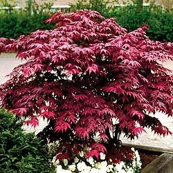 Japanese Red Maple Tree - Live Plant Shipped 1 Foot Tall by DAS Farms (No California)