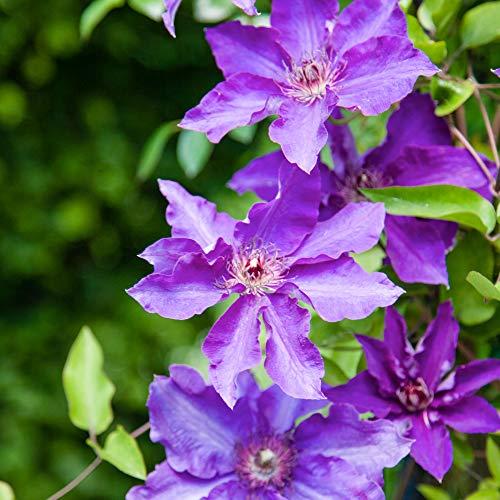 2x Clematis'The President' | Set Waldreben | Kletterpflanze mit lila Blüte | Höhe 55-65cm |...