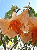 doppio fiore colore pesca facile da coltivare anche in vaso profumatissimi - tutte le ore serale raggiunge 3-4 mt altezza