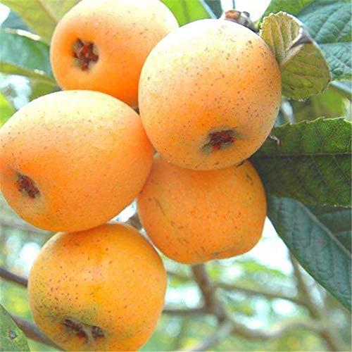 TOYHEART 20 Piezas De Semillas De Frutas De Primera Calidad, Semillas De Níspero, Proteínas Medicinales Nutritivas, Semillas De árboles De Níspero Naturales para Jardín Amarillo