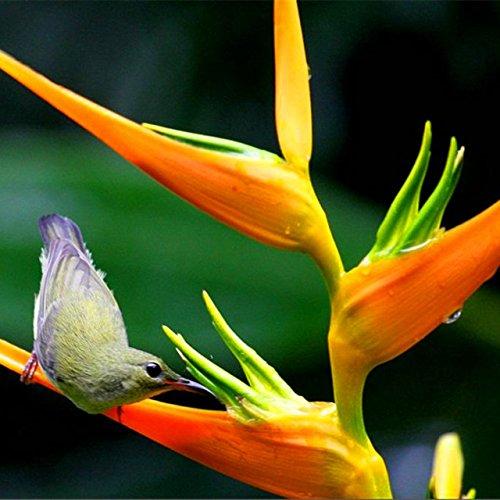 Nouvelle arrivée! 100 Indoor Plante en pot fleur d'oranger Strelitzia Reginae Bird Of Paradise Seeds maison Jardim Bonsai Sementes ga 6