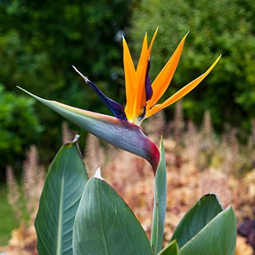 Soteer Garten - Afrika Paradiesvogel-Blumesamen Strelitzia reginae Zwergform Gartenstauden Pflanzen vogelblumen Saatgut mehrjährig winterhart