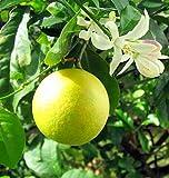 "Meyer Lemon Tree - 4"" Pot - Grow Indoors/Out -No Shipping TX, FL, AZ, CA, LA, HI"