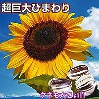国華園 種 花たね ヒマワリ タイタン 1袋(35粒)/メール便配送 21年春商品