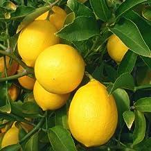 1 Grafted Meyer Lemon Tree Citrus Meyeri Live Plant #TND69