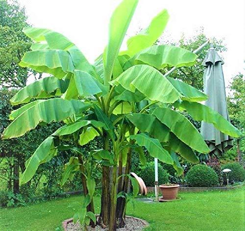 Frostharte Schnee-Banane 2 Pflanzen Gesamthöhe 50 cm mit Topf reich fruchtend bis zu 4 Meter Höhe