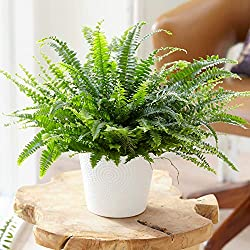 UNIQUE AND STRIKING APPEARANCE – The striking appearance of the Boston Ferns frilly, sword-like fronds gives it a visually-pleasing look – one that will add a different dimension to your household. AN EVER-LASTING HOUSEPLANT – With the correct care g...